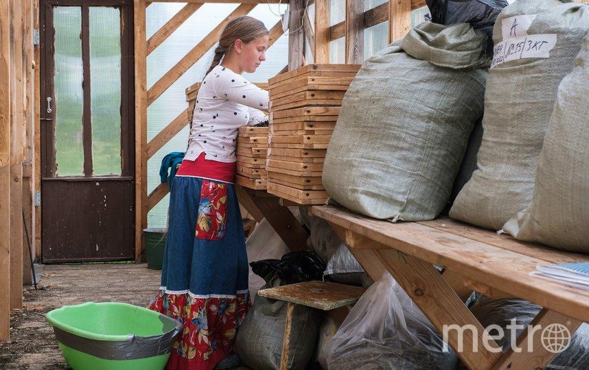 "Сбор иван-чая в Ленобласти. Фото Алена Бобрович, ""Metro"""