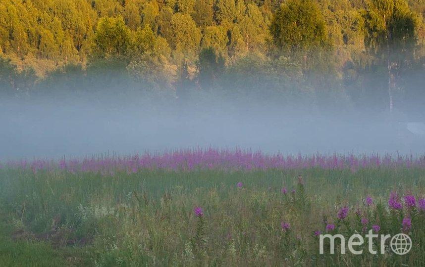 "Иван-чай в Ленобласти. Фото Алена Бобрович, ""Metro"""