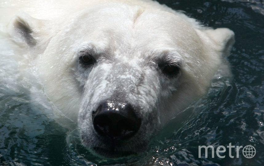 Международный союз охраны природы (МСОП) относит белых медведей к категории уязвимых к вымиранию. Фото Getty