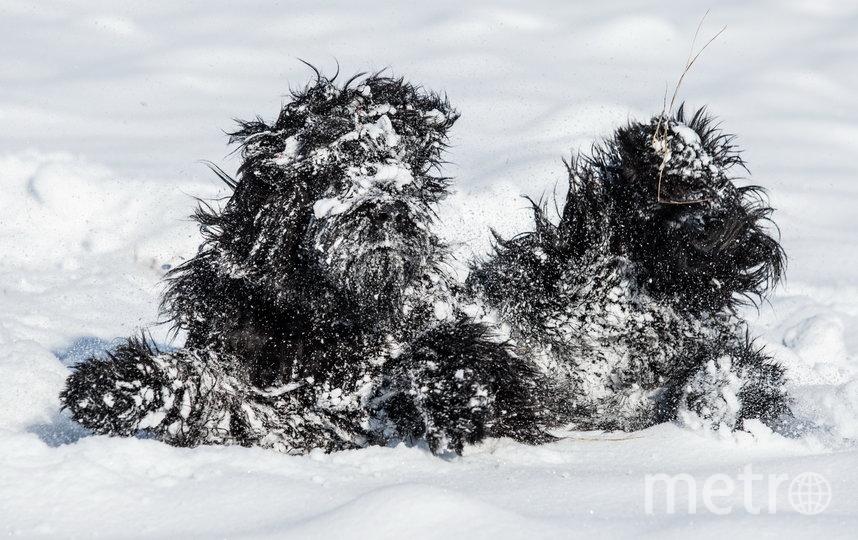 "Фото ""Снежный монстр"". Фото Magdalena Strakova / Comedy Pet Photo Awards 2020"