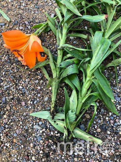 Лилии после кражи луковиц погибли. Фото предоставлено пресс-службой Аптекарского огорода