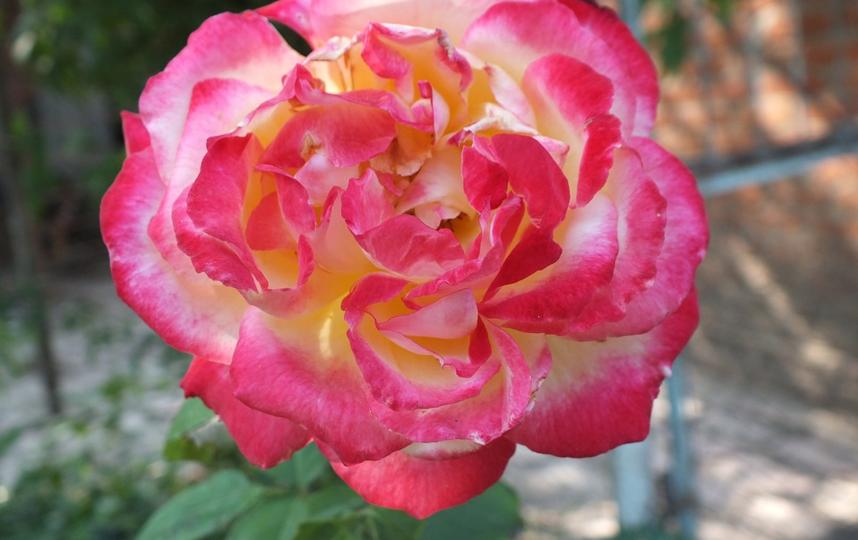 Реставрация исторического Розового сада – долгожданный проект, призванный улучшить одно из самых знаковых мест на территории Белого дома. Архивное фото. Фото pixabay.com