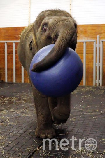 Слониха Эколь, чей переезд из Ростовского зоопарка в Большой московский цирк вызвал шумиху, уже разучила первые команды. Фото предоставлено большим московским цирком