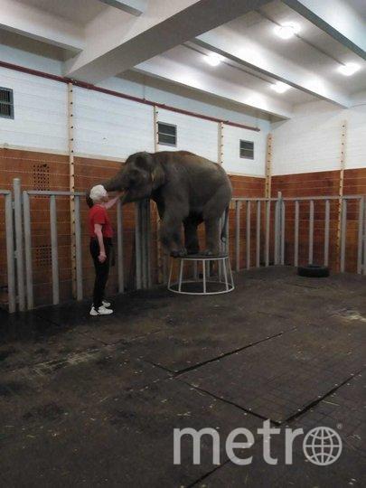 Слониха Эколь, чей переезд из Ростовского зоопарка в Большой московский цирк вызвал шумиху, уже разучила первые команды. Фото предоставлено Сарватом Бегбуди
