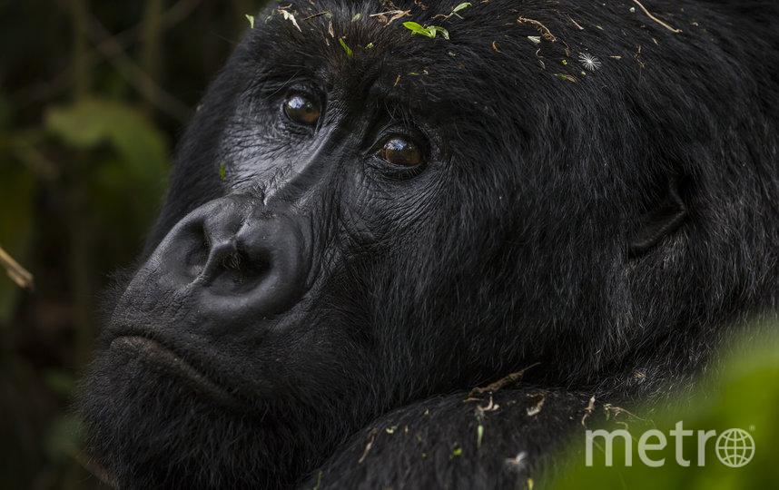 Горная горилла, архивное фото. Фото Getty