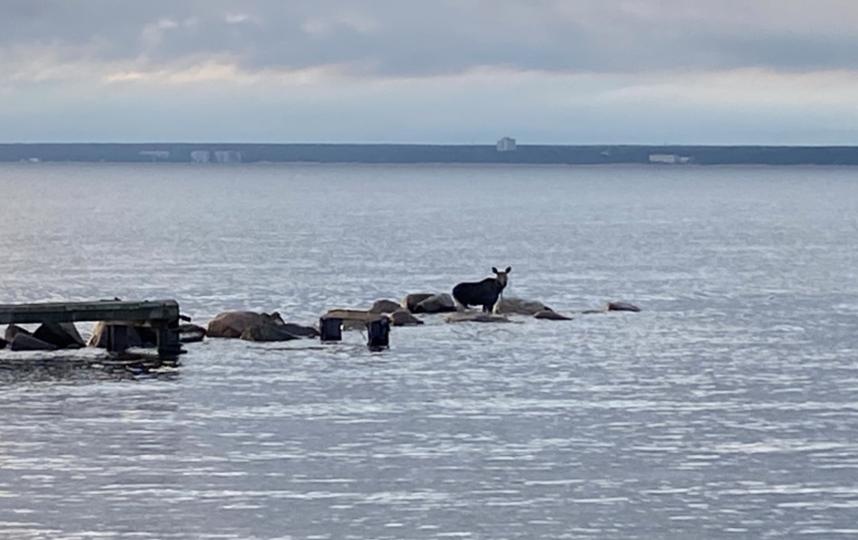 """Лось забежал в акваторию Финского залива. Фото gov.spb.ru, """"Metro"""""""
