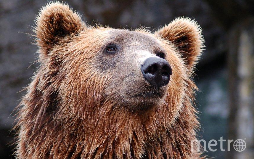 В Сочи в незапертом вольере с медведями произошла трагедия. Фото – архив. Фото pixabay