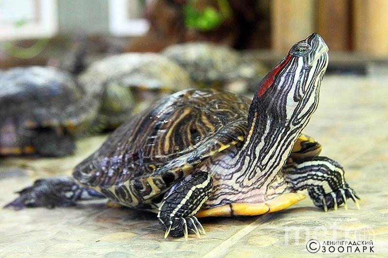 "Красноухая черепаха. Фото https://vk.com/spbzoopark, ""Metro"""