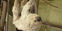 Самый старый ленивец в мире умер в Германии