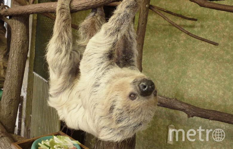 Самка двупалого ленивца Паула. Фото guinnessworldrecords.com