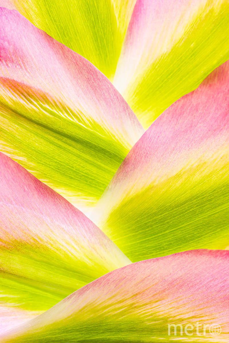 Горы тюльпанных лепестков. Фото Энн Макинтайр