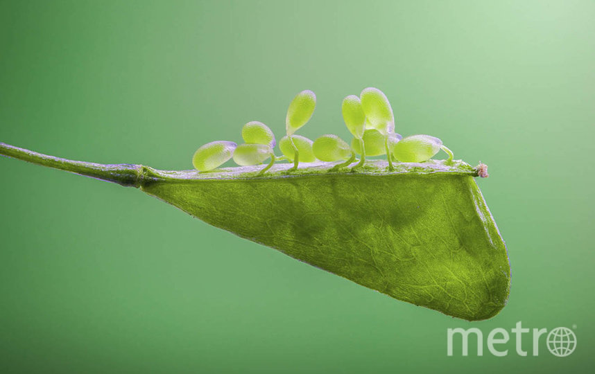 Семена пастушьей сумки. Фото Чжан Е Фэй