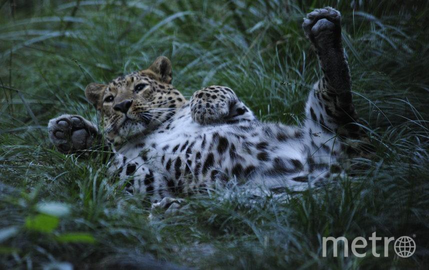 Леопарды попадают в Центр восстановления из зоопарков других стран. Фото WWF России