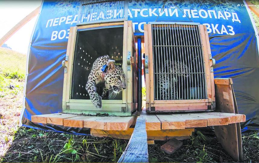 Редкая кошка впервые выходит в свой новый дом – Кавказский заповедник. Фото WWF России