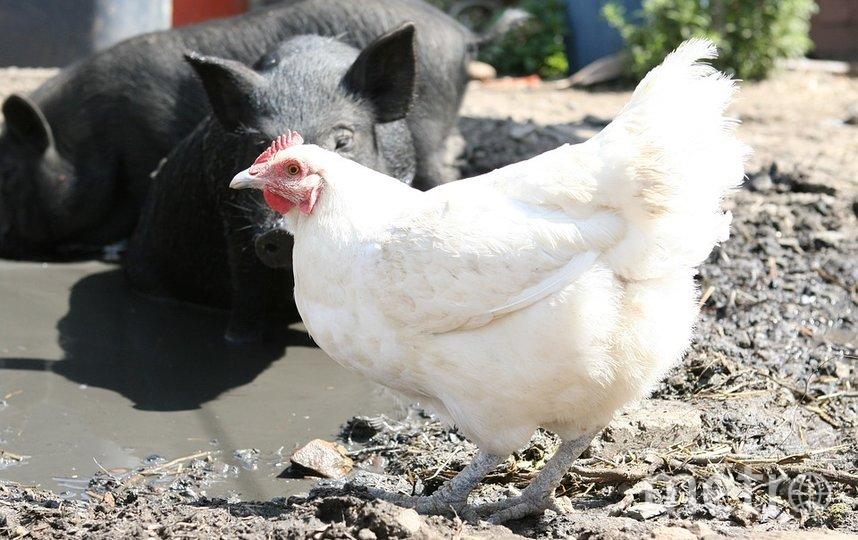 """В качестве """"материала"""" учёные использовали свинину, мясо курицы и форель. Фото pixabay.com"""