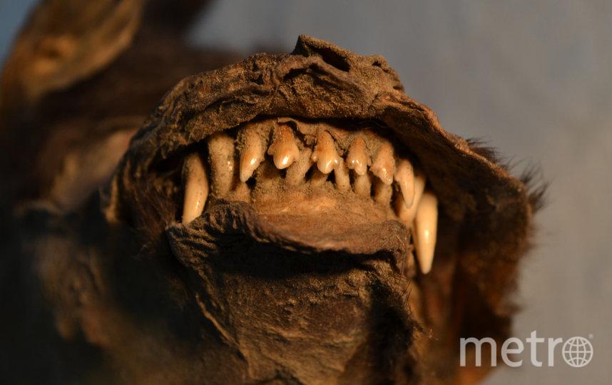 Зубы щенка, обнаруженного в Сибири в 2011 году. Фото The Centre for Palaeogenetics (CPG)