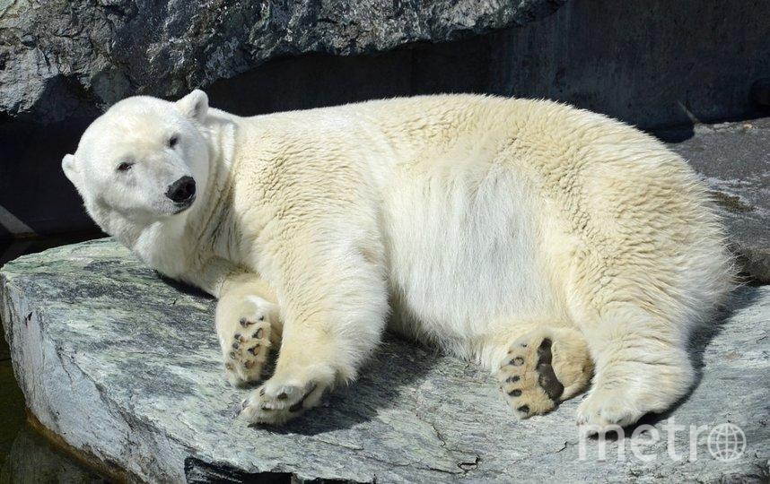 Белый медведь напал на туриста. Фото Pixabay.
