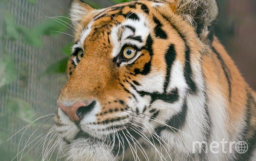 Амурские тигры — очень редкие, уникальные животные. Фото mos.ru