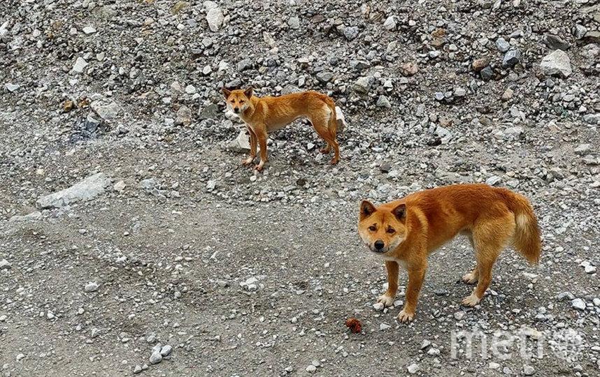 Новогвинейские поющие собаки. Фото New Guinea Highland Wild Dog Foundation