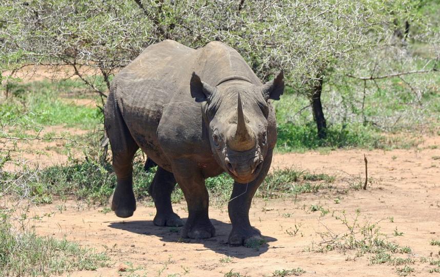 Черный носорог. Фото Pixabay.