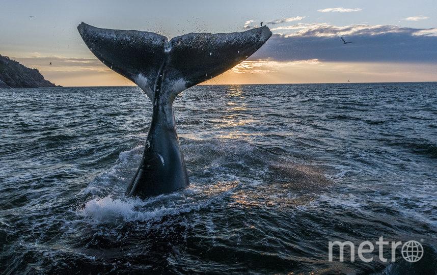 Гренландский кит. Фото Михаил Коростелёв