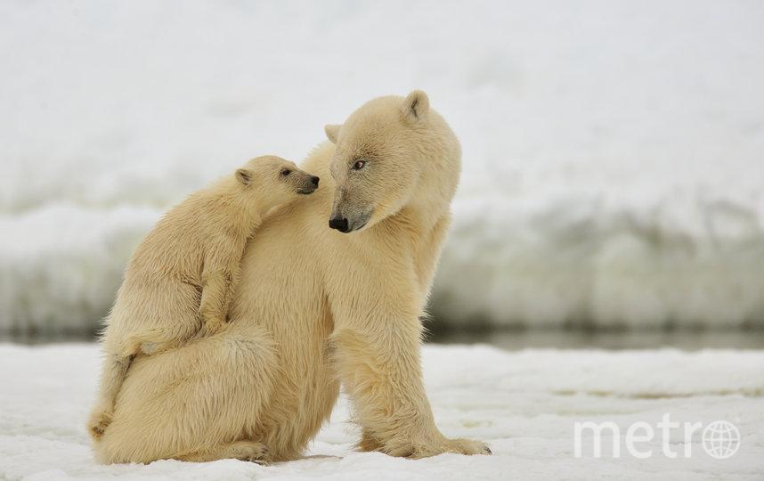 Белые медведи. Фото Адам Ивс