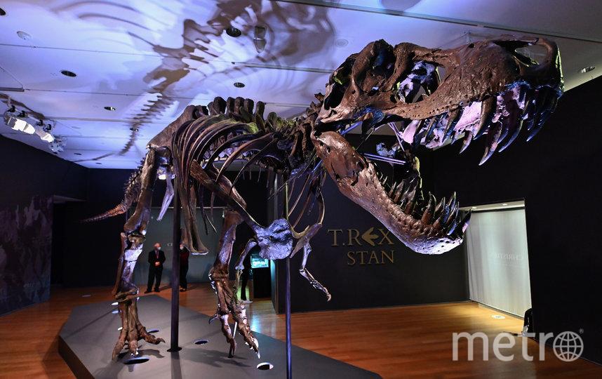 Это один из самых полных скелетов тираннозавра рекса: в нём насчитывается 188 костей. Фото AFP