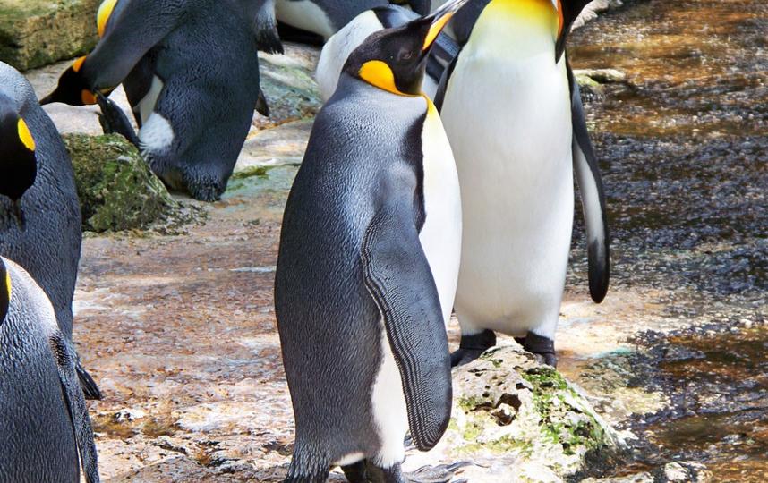Пингвин стал жертвой коронавируса. Фото Pixabay.