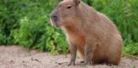 Директор Ленинградского зоопарка спасла от пожара капибару