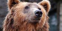 В Чернобыле впервые за 100 лет заметили медведей