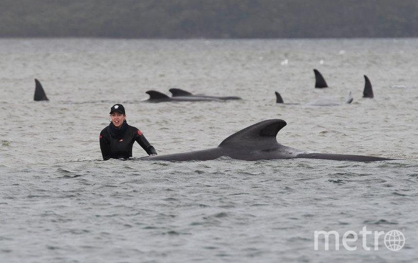 Всего у побережья Тасмании замечено около 270 китов. Фото Getty