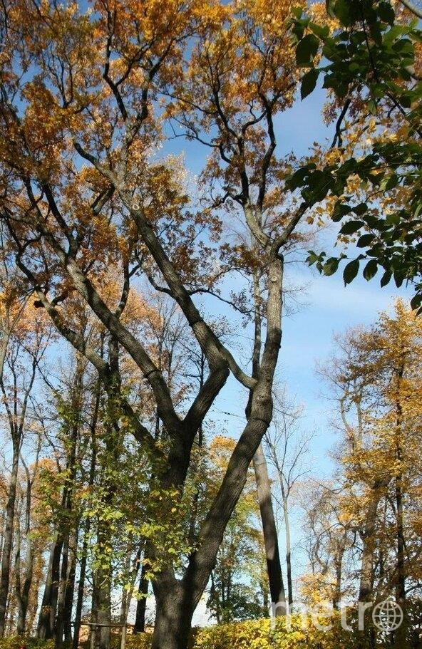 Уже более 170 саженцев петровского дуба растут уже в 33 городах России и Европы. Фото Предоставлено организаторами