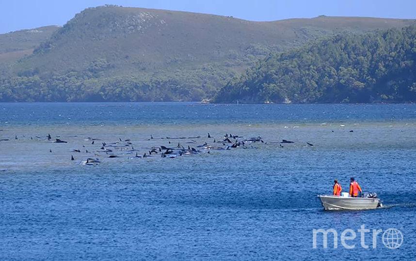 К вечеру среды спасателям удалось спасти 50 китов. Фото AFP