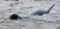 Почти 400 китов погибло у берегов Австралии