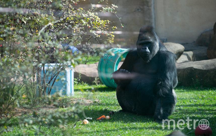 У горилл в зоопарке устрашающий вид, на деле же они милые и добродушные. Фото Василий Кузьмичёнок