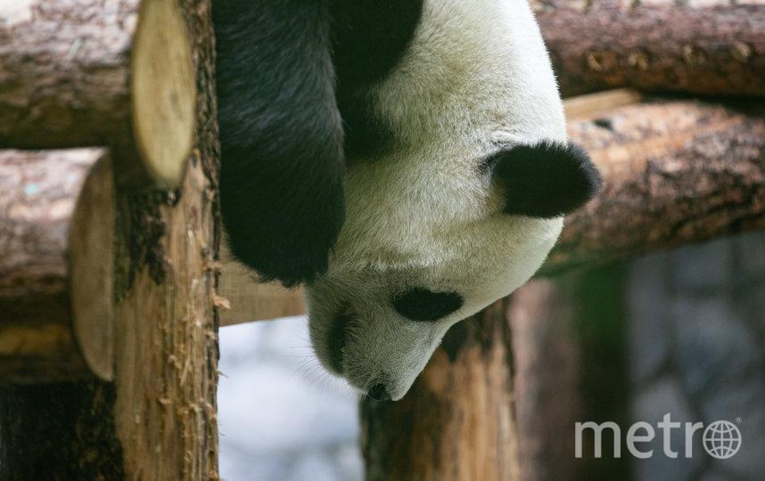 Большие панды Жуи и Диндин, несмотря на погожие деньки, чаще квартируют во внутренних домиках. Фото Василий Кузьмичёнок
