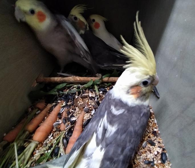 Корелла – попугай семейства какаду длиной до 33 см с хвостом и весом около 100 г. Фото ursn.spb.ru.