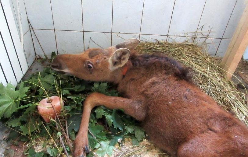 Несмотря на все усилия ветеринаров лосенка не смогли спаст. Фото vk.com/veles_spb.