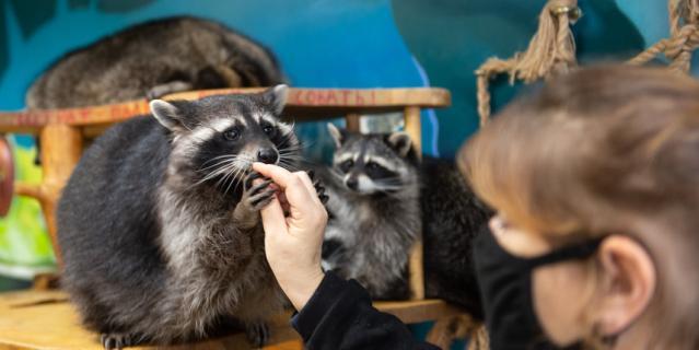 """Сотрудники """"Енотовиля"""" настаивают на том, что  их центр – не контактный зоопарк."""