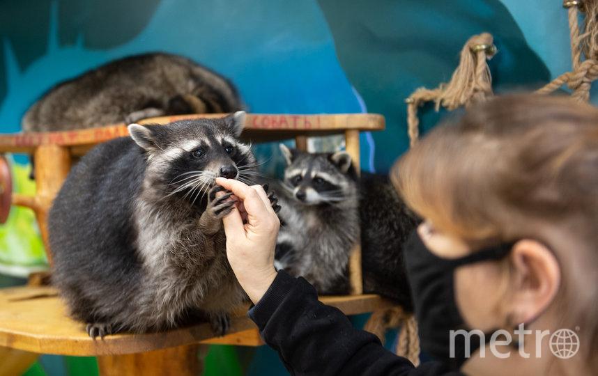 """Сотрудники """"Енотовиля"""" настаивают на том, что  их центр – не контактный зоопарк. Фото Святослав Акимов, """"Metro"""""""