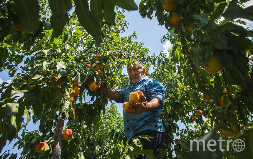 Сбор персиков – увлекательное занятие, уверен Хаджи-Мухаммад. Фото instagram @mikhalchuko