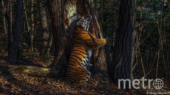 Тигрица принесла победу русскому фотографу. Фото предоставлены героем публикации instagram.com/sergey_gorshkov_photographer/