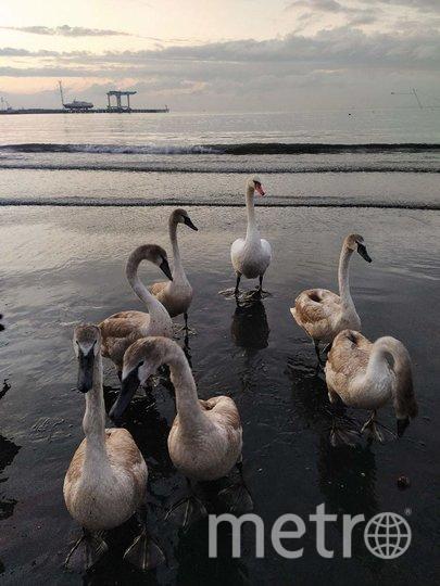 """Лебедей ищите на центральном пляже. Фото Евгения Назарова, """"Metro"""""""