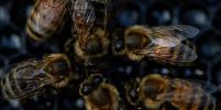 Рой диких пчел искусал женщину до потери сознания