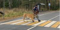 В Москве тигр-пешеход озадачил многих своей прогулкой