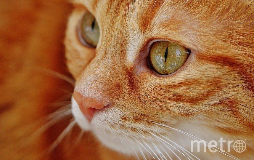 """Кота в роликах озвучивал хозяин. Фото pixabay.com, """"Metro"""""""