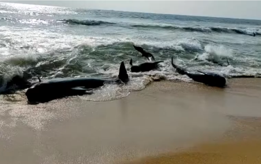 Гринды начали выбрасываться на пляж Панадура в 25 километрах от столицы Шри-Ланки Коломбо 2 ноября. Фото Скриншот., Скриншот Youtube