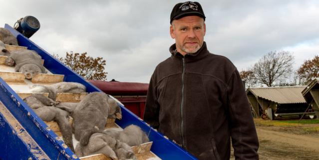 Вот так уничтожали норок в Дании.