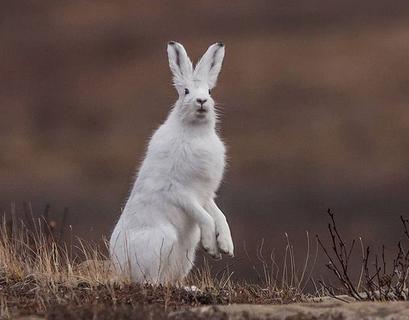 Заяц-беляк меняет шубу осенью и с нетерпением ждёт зимы, чтобы слиться с белыми сугробами.