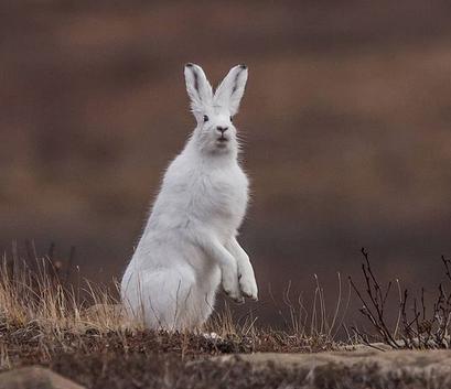 Заяц-беляк меняет шубу осенью и с нетерпением ждёт зимы, чтобы слиться с белыми сугробами. Фото instagram.com/anna_lvanovnaa